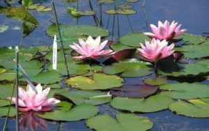 Merebrook Pond Plants Testimonial